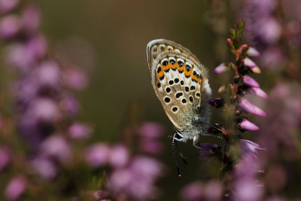 Het vrouwtje van het Heideblauwtje - Foto: Judith Bouma